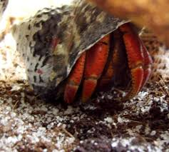 Do Hermit Crabs Shed Legs by How To Choose Hermit Crab Shells By Shape And Size Pethelpful