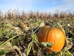 Colorado Pumpkin Patch by Interactive Map Pick Your Favorite Noco Pumpkin Patch