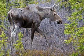 Moose Shedding Their Antlers by Photo Essay Denali National Park Travel Photography And Other
