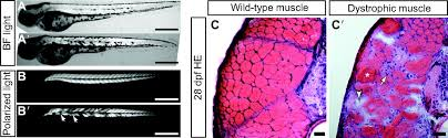 Shed More Light On Synonym by Zebrafish Models Flex Their Muscles To Shed Light On Muscular