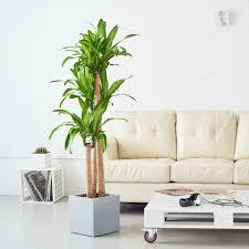 pflanze mit großen blättern ein herrlicher hingucker zu hause