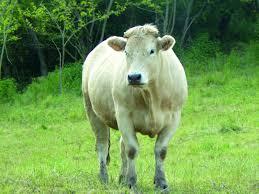chambre agriculture haute loire viande bovine le boeuf de haute loire s engage dans une démarche