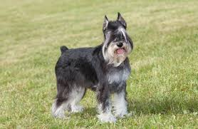 a riddle in fur do schnauzers shed what you need to know herepup