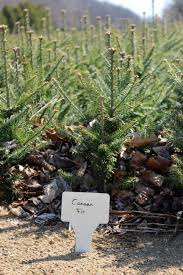 Christmas Tree Species by Read How Growing Christmas Trees Takes Time And Effort