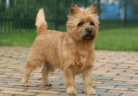 cairn terrier shed hair 15 small dogs breeds that make great hiking buddies