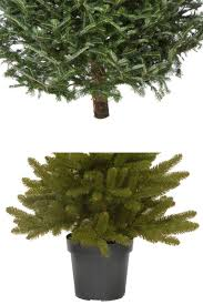 Nordmann Fir Christmas Trees Wholesale by Christmas Tree