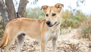 Non Shedding Husky Cross by Elvis Male Husky Labrador Cross From Sled Dog Rescue