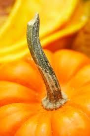 Homemade Fertilizer For Pumpkins by Can You Grow Sugar Pie Pumpkins In A 5 Gallon Bucket Home