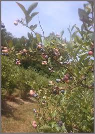 Chesterfield Berry Farm Pumpkin Patch 2015 by Swift Creek Berry Farm U0026 Greenhouse Fruits U0026 Veggies 16716