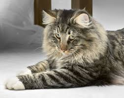 forest cat vs maine coon how to tell the difference between the forest cat and