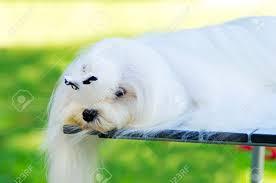 Small Non Shedding Dogs by 100 Small White Non Shedding Dog Breeds Non Shedding Small