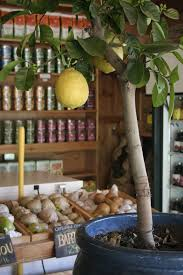 how to grow a lemon tree from seed growing