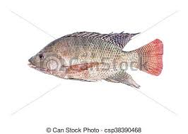 Fresh Tilapia Or Nile Fish