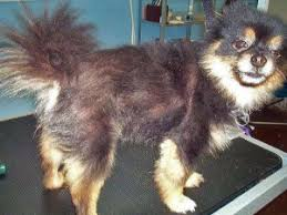 Top Dogs That Dont Shed Hair by Shave Down