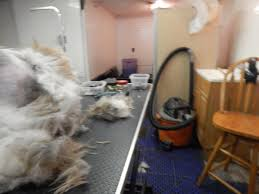Do Irish Wheaten Terriers Shed by Before And After Page 2 U2013 Fluff U0026 Dry Grooming Salon