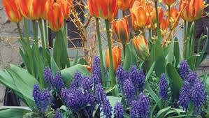how to plant tulips in pots finegardening
