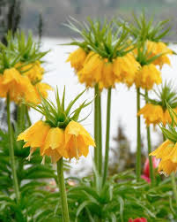 fritillaria imperialis lutea bulbs yellow crown imperial buy