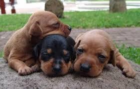 miniature pinscher puppy information training min pin breeders