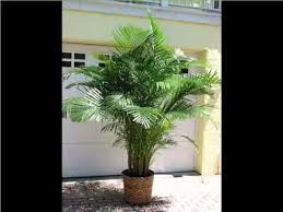 golden palm in pots areca palm indoor house home of indoor office plants picture