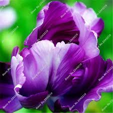 1 pcs true tulip bulbs multi colors flower bulbs not tulip