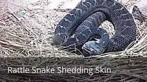 rattlesnake sound snake hissing rattlesnake shedding skin youtube