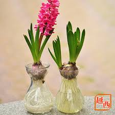 free shipping hyacinth bulbs imported hydroponic kit flowering