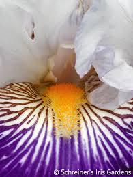 buy iris bulbs iris varieties