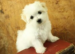 Small Dogs That Dont Shed Hair by Truly Marvelous Tips For Taking Care Of Cute Teacup Maltese Puppies