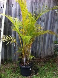 golden palm in pots golden palms plants gumtree australia wyong area chittaway