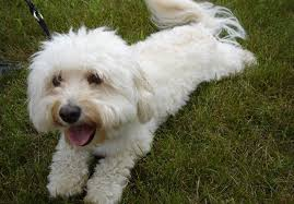 Terriers That Dont Shed by Small Dog Breeds That Don U0027t Shed U2013 17 Dogs You U0027ll Adore