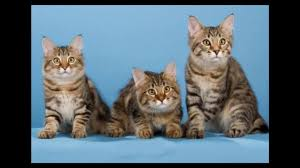 bobtail cat american bobtail cat and kittens history of the american bobtail