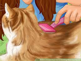 Excessive Hair Shedding In Cats by 3 Ways To Know If Your Cat Is Shedding More Than Normal Wikihow