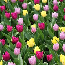 assorted tulip mix 100 flower bulbs buy order now