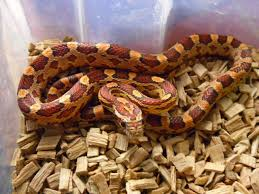 Corn Snake Shedding Time by Carolina Corn Snake Crawley West Sussex Pets4homes