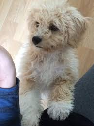Non Shedding Small Dogs Uk by Cavapoochons Rosedale Doodles