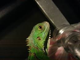 Uvb Lamp Vitamin D3 by Do I Still Give My Green Iguana Calcium And D3 Supplement Now That