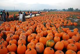 Glass Blown Pumpkins Seattle by Carpinito Brothers Pumpkin Patch In Kent Seattle Recreation