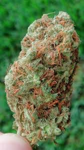 Northern Lights Strain Review Stoner Things