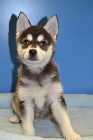 Non Shedding Husky Cross by San Diego Puppies Puppies San Diego