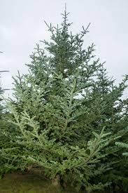 Fraser Christmas Trees Uk by Trees Cedar Croft