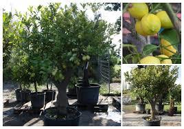 zitronenbaum pflanzenhof moosheide pflanzenhof moosheide