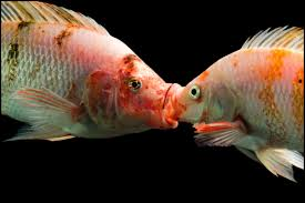 This Is Typical Tilapia Mating Behavior