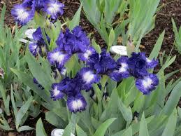 iris bulb sale at presby gardens myveronanj myveronanj