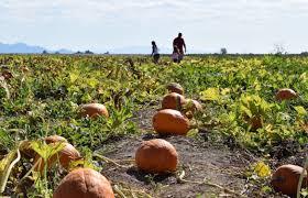 Marana Pumpkin Patch 2015 by Flock To Arizona U0027s Fall Festivals Arizona Sonora News Service