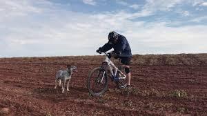 Blue Heeler Mix Shedding by Corrida De Downhill Blue Heeler Dog Bike Youtube