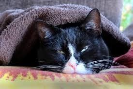 fatty liver cats feline hepatic lipidosis fatty liver disease in cats