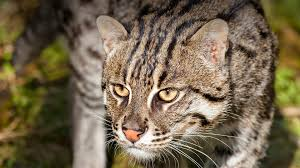 Best Type Of Christmas Tree For Cats by Fishing Cat San Diego Zoo Animals U0026 Plants