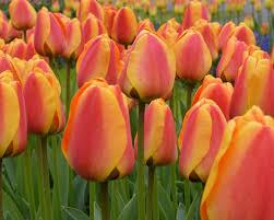 tulip apeldoorn elite bulbs buy at farmer gracy uk