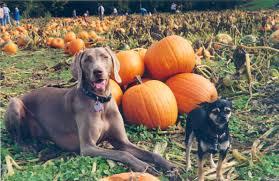 Pumpkin Puree For Dog Constipation by Pumpkin Dog Treat Recipes