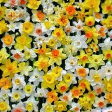 daffodil bulbs for sale buy flower bulbs in bulk save plants